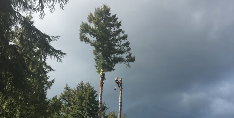 Danger Tree Removals in Qualicum, Parksville, Nanoose, Coombs and Errington.